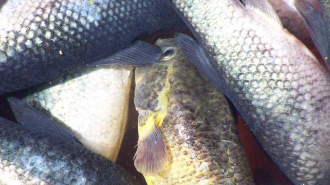Tote Fische: Wer Reisemängel reklamieren möchte, muss sich beeilen / Foto: © Rüdiger v. Schönfels